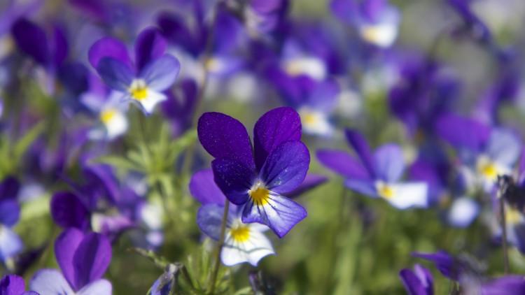 Violet flowers. Image: pichost.me